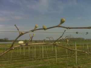 LaCrescent wine grape buds are breaking