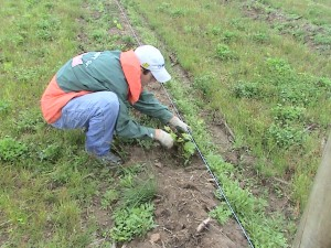 Thad pruning our Traminette vines
