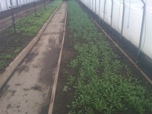 Spinach getting going