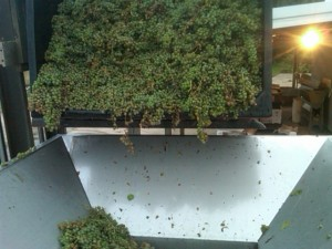 LaCrescent grapes going into the the Crusher/Destemmer