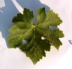 Cabernet Sauvignon  grape leaf