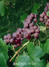 Catabwa grape