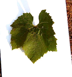 Chardonnay grape leaf