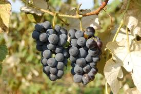 Native American Grapes