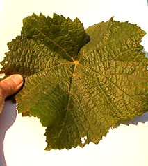 Pinot grape leaf