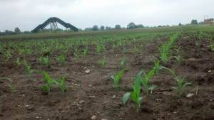 Corn coming up in rows