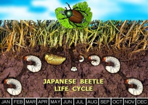 japanese bettle life cycle