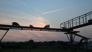 Our goats up on Goatapalooza ramp walkway enjoying a sunset view.