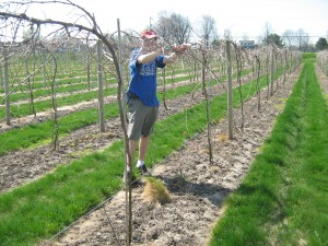Finishing up the winter pruning