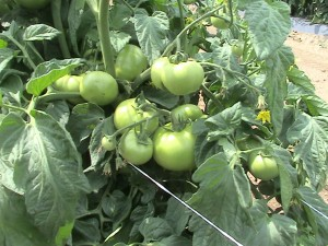 Green Maters,