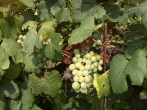 Concord grapes for jam and Red Neck Red!