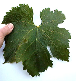 Merlot grape leaf