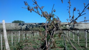 Grape vines morning after a freeze