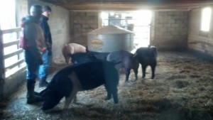 My brother in laws Steve and Todd getting ready to load some hogs.