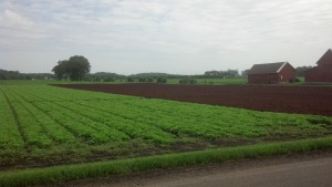 "Lettuce growing up in the ""Hartville Swamps"""